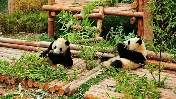 Giant Pandas and Chengdu